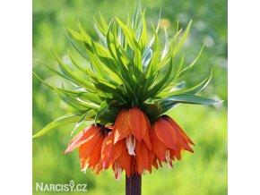 Repcik Fritillaria William Rex 1