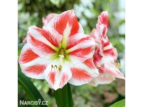 hvězdník amaryllis ambiance 1