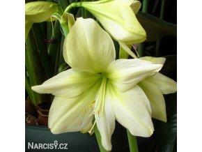Amarylis Lemon 2