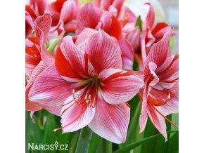 růžový hvězdník amaryllis gervase 1