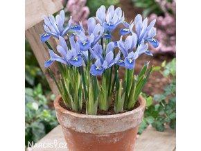bledě modrý kosatec iris alida reticulata 1