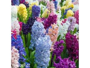 Hyacint - Mix barev