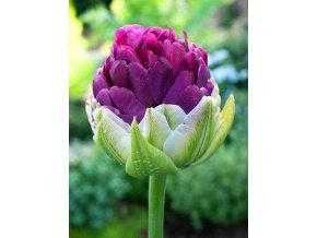 Tulipany Exquisit 1
