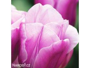 Tulipán Holland Beauty 2