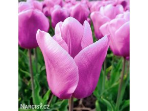 ruzovy tulipan triumph holland beauty 1