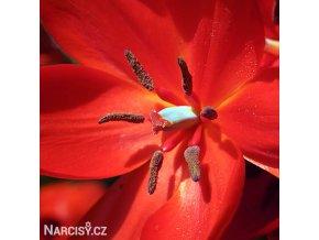 Tulipán Praestans Zwanenburg 5