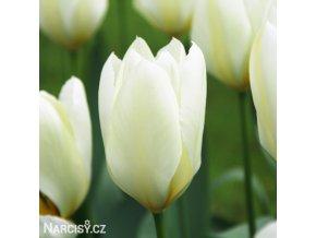 bily tulipan triumph purissima 1