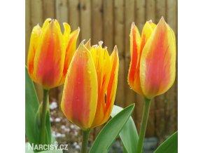 Tulipán Winnipeg 4