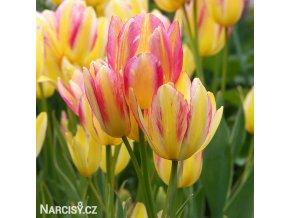 zlutoruzovy tulipan antoinette 1