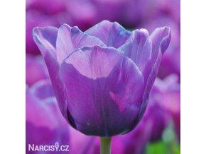fialovy tulipan blue aimable 1