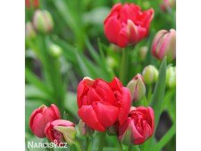 Tulipán Esthatic 4