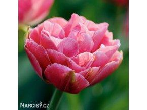 ruzovy plnokvety tulipan aveyron 1