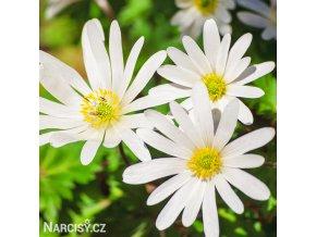 Anemonky Blanda White 1