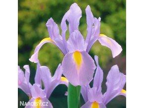 fialový kosatec iris rosario hollandica 4