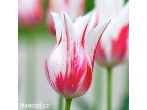 bilocerveny tulipan marilyn 1