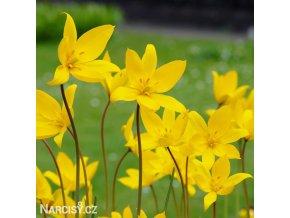 Tulipán Sylvestris 2