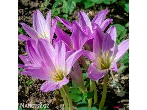 Colchicum giganteum 1