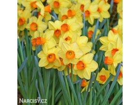 žlutooranžový narcis red devon 2