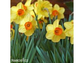 Narcis Red Devon 1