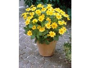 Jiřina mini - Topmix Yellow