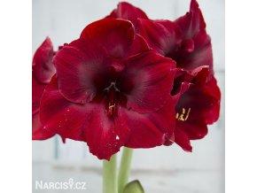 tmavě červený hvězdník amaryllis benfica 1