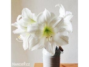 bílý hvězdník amaryllis christmas gift 1