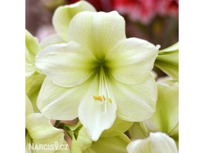 žlutý hvězdník amaryllis fantasy 1