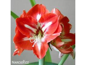 červenobílý hvězdník amaryllis stargazer 1