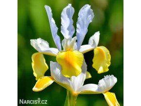 žlutobílý kosatec iris apollo hollandica 1