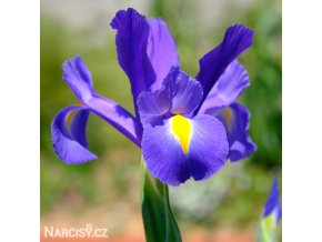 modrý kosatec iris blue magic hollandica 1