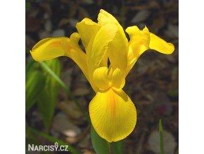 Iris Golden beauty 1
