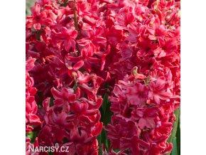 Hyacint - Red Glory