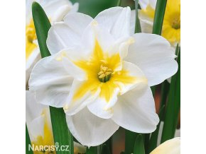 bílý narcis split lemon beauty 2