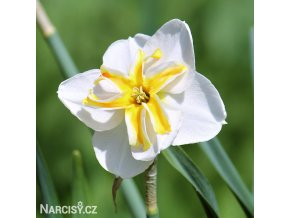 Narcis Lemon Beauty 1