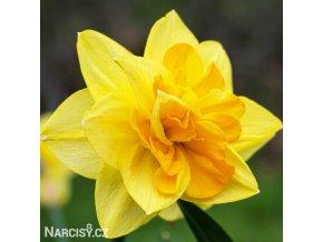 žlutý plnokvětý narcis apotheose 1