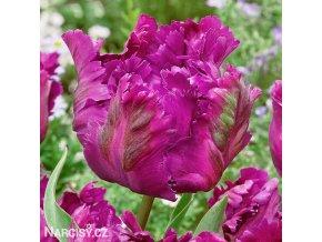 Tulipan Negrita 5
