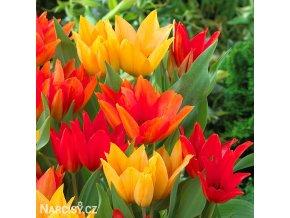 Tulipán Praestans mix 1