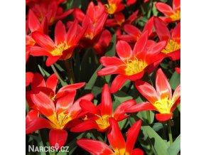 cerveny tulipan kaufmanniana scarlet baby 1