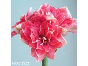 růžový plnokvětý hvězdník amaryllis double dream 1