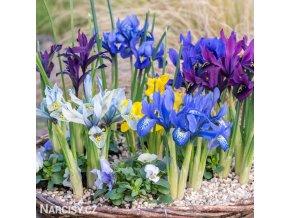 směs nízkých kosatců iris reticulata mix 1