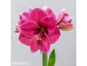 růžový hvězdník amaryllis pink rival 1
