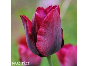 cerveny tulipan triumph ronaldo 1