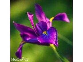 Iris Purple Sensation 3