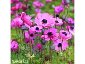 Sasanka Sylphide Pink 03