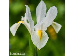 bílý kosatec white iris hollandica 1