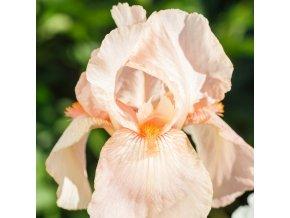 Iris constant wattez 02