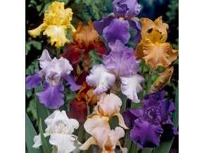 Iris Germanica Mix 01