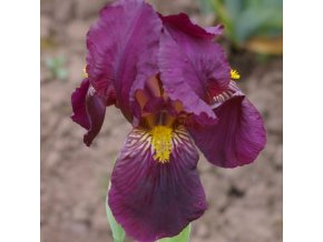 Iris red orchid 02