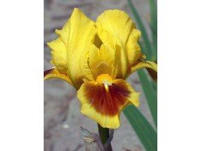 Iris Curio 01