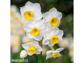 bíložlutý vícekvětý narcis avalanche 1